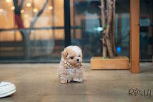 (Purchased by Sirer) Scone - Maltipoo. M - Rolly Teacup Puppies