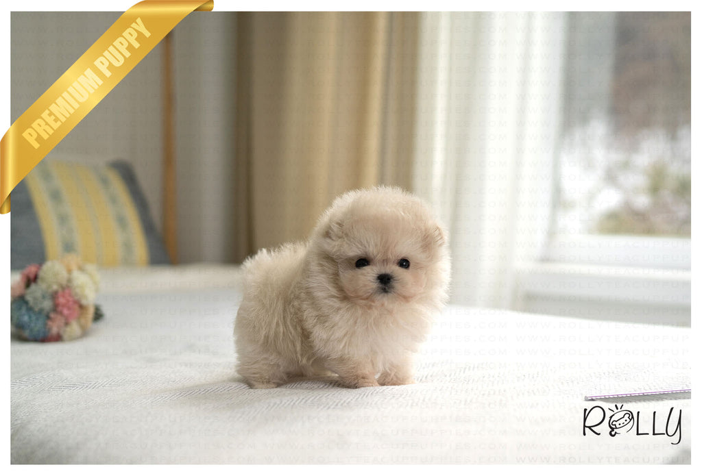 SCONE - Pompoo. M - Rolly Teacup Puppies - Rolly Pups