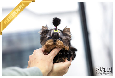 (SOLD to Cat) Scout - Yorkie. M