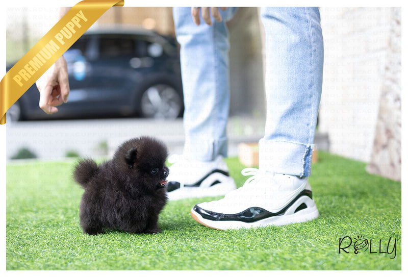 (Purchased by Romero) Shadow - Pomeranian. F - Rolly Teacup Puppies