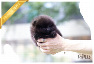 (Purchased by Romero) Shadow - Pomeranian. F - Rolly Teacup Puppies - Rolly Pups