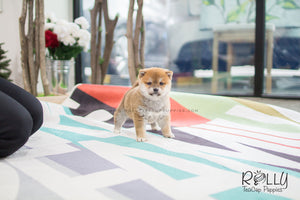 (SOLD to Morrison) Aki - Shiba Inu. M - Rolly Teacup Puppies