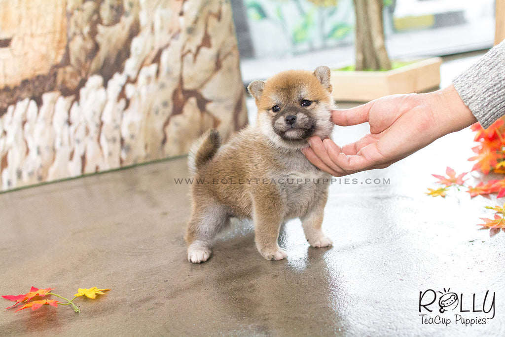 Rita - Shiba. F - Rolly Teacup Puppies