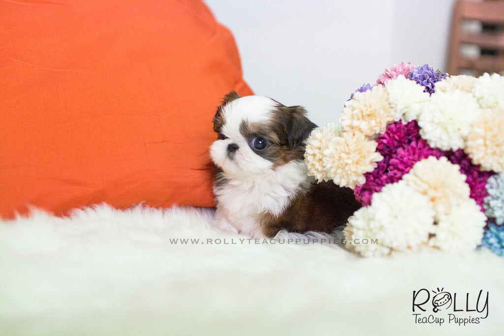Products Tagged Shih Tzu Rolly Teacup Puppies