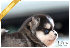 (SOLD to Kiefer) Shiloh - Pomsky. F - Rolly Teacup Puppies - Rolly Pups