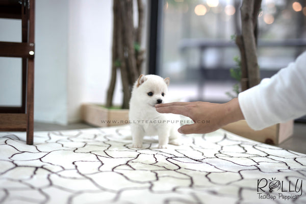 (SOLD to Bass) Shiro - Shiba Inu. M - Rolly Teacup Puppies