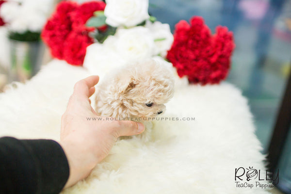 (SOLD to Oliveira) Belle - Poodle. F - Rolly Teacup Puppies