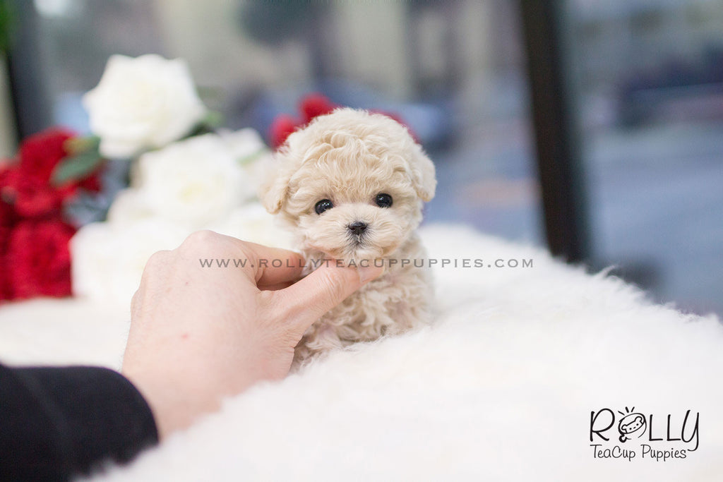 (SOLD to Oliveira) Belle - Poodle. F – Rolly Teacup Puppies