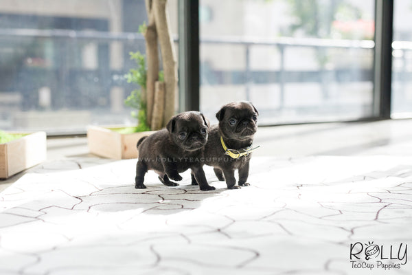 (SOLD to Jin) Stella - Pug. F - Rolly Teacup Puppies