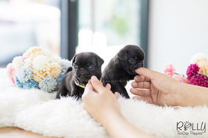 (SOLD to Jin) Bud - Pug. M - Rolly Teacup Puppies