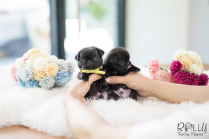 (SOLD to Jin) Stella - Pug. F - Rolly Teacup Puppies - Rolly Pups