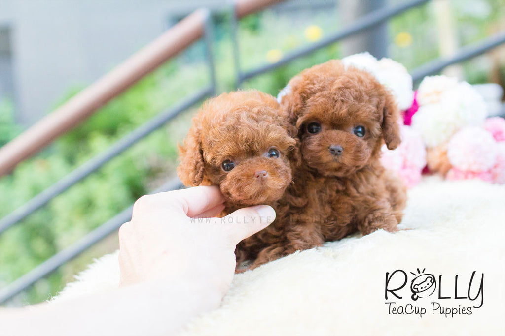 Noah & Loah - Poodle - Rolly Teacup Puppies - Rolly Pups