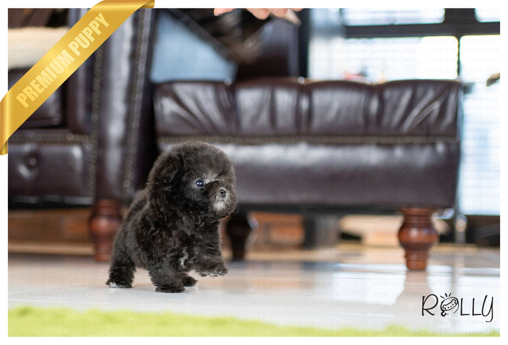(PURCHASED by Lim) ARTEMIS - Poodle. F - Rolly Teacup Puppies - Rolly Pups