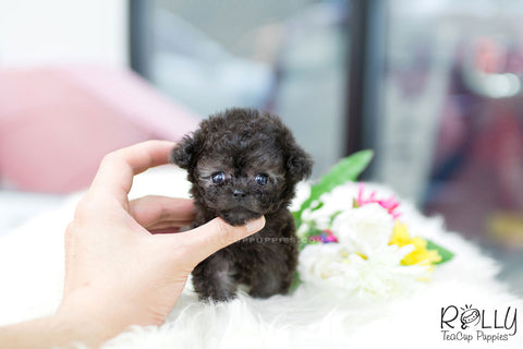 Rolly Teacup Puppies Rolly Pups Inc