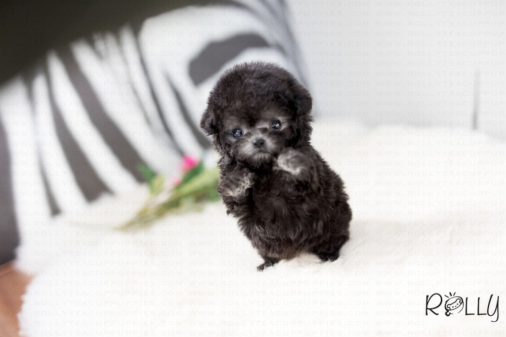 (Purchased by Sasuke) Oscar - Poodle. M - ROLLY PUPS INC