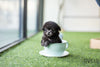 (Purchased by Sasuke) Oscar - Poodle. M - Rolly Teacup Puppies