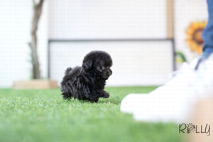 (Purchased by Sasuke) Oscar - Poodle. M - Rolly Teacup Puppies - Rolly Pups