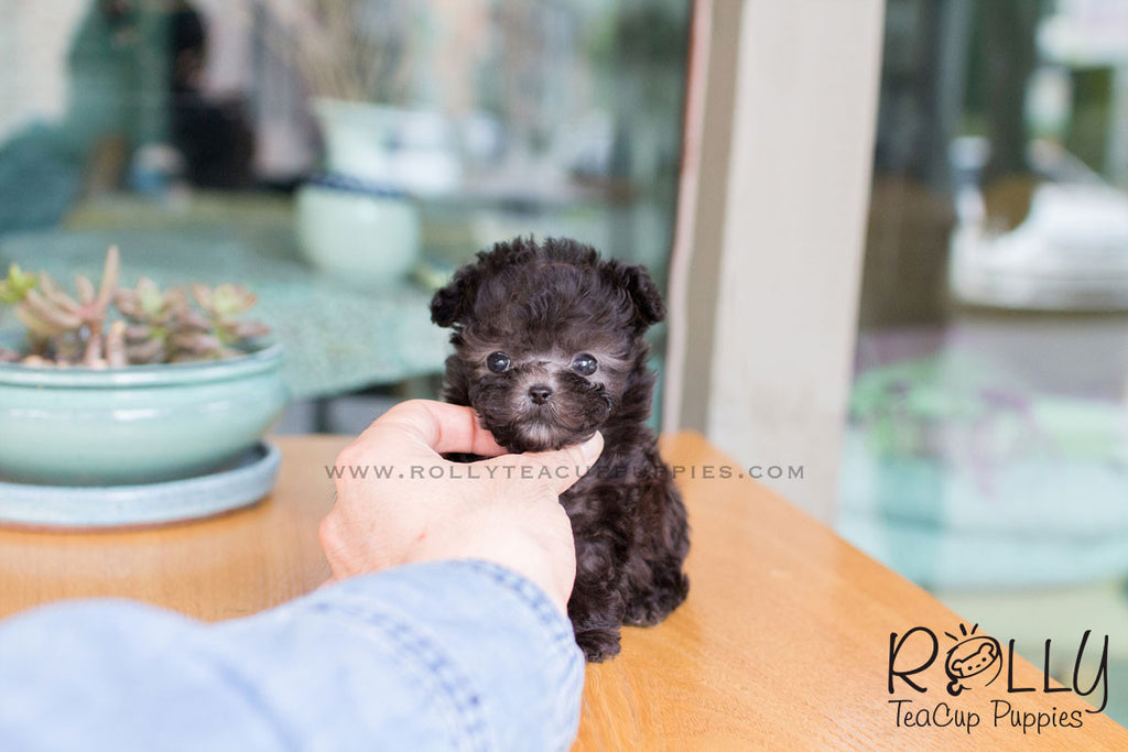 Toby - Poodle - Rolly Teacup Puppies
