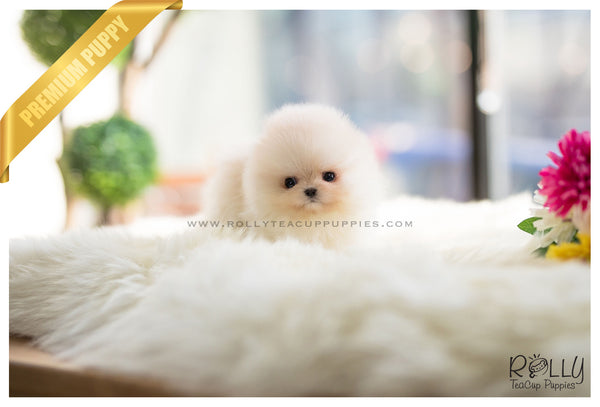 (SOLD to Mariel) Simba - Pomeranian. M - Rolly Teacup Puppies