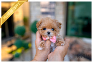 (Purchased by Kim) SISSY - Maltipoo. F - Rolly Teacup Puppies
