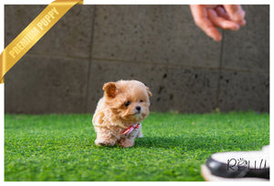 (Purchased by Kim) SISSY - Maltipoo. F - Rolly Teacup Puppies - Rolly Pups