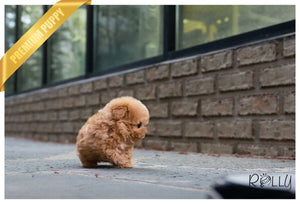 (Purchased by Alicea) SKIPPY - Poodle. M - Rolly Teacup Puppies