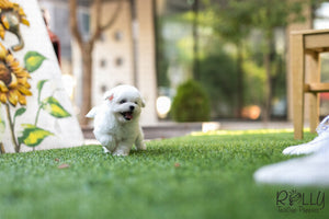 (SOLD to Ahir) Skittles - Bichon. M - Rolly Teacup Puppies - Rolly Pups