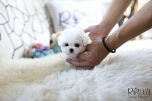 (SOLD to Ahir) Skittles - Bichon. M - Rolly Teacup Puppies