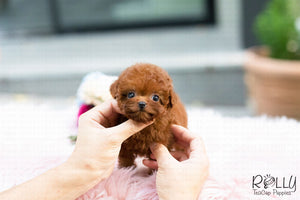 (Purchased by Cynthia)Skittles - Poodle. F - Rolly Teacup Puppies