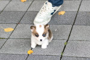 (Purchased by Torres) Sky - Corgi. M - Rolly Teacup Puppies