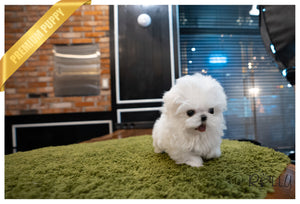 (Purchased by Wang) Skyler - Maltese. M - Rolly Teacup Puppies