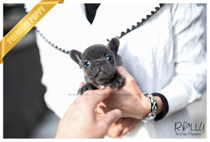 (SOLD to Collison) Smokey - French Bulldog. M - Rolly Teacup Puppies