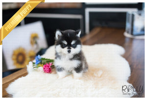 (Purchased by Scott) Smokey- Pomsky. M - Rolly Teacup Puppies