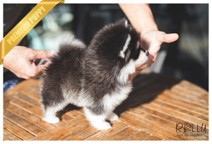 (Purchased by Scott) Smokey- Pomsky. M - Rolly Teacup Puppies - Rolly Pups