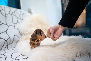 (Purchased by Abrams) S'more - Dachshund. M - Rolly Teacup Puppies