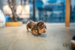 (Purchased by Abrams) S'more - Dachshund. M - Rolly Teacup Puppies - Rolly Pups