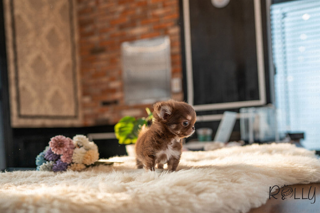 (Reserved by Paul) Snickers - Chihuahua. M - Rolly Teacup Puppies