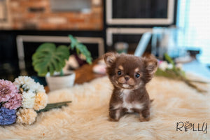 (PURCHASED by Paul) Snickers - Chihuahua. M - Rolly Teacup Puppies