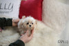 (Purchased by Payman) Snoopy - Maltipoo. M - Rolly Teacup Puppies