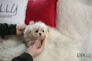 (Purchased by Payman) Snoopy - Maltipoo. M - Rolly Teacup Puppies - Rolly Pups