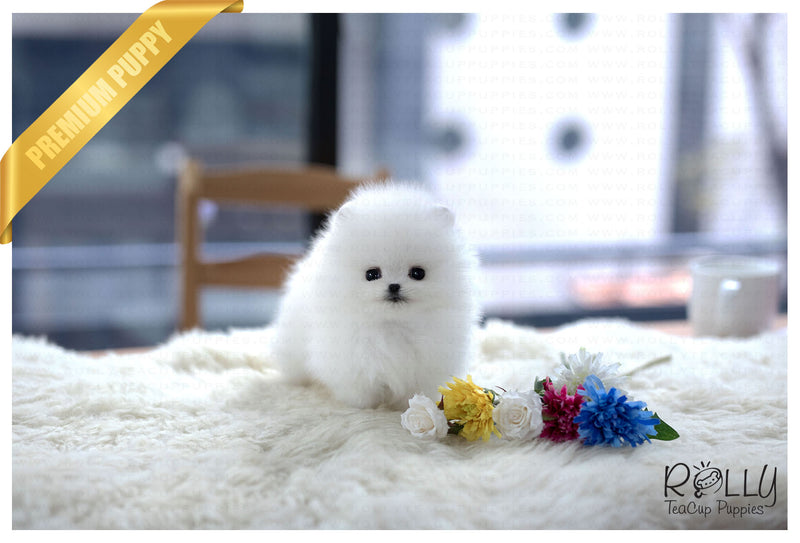(Purchased by Weber) Snow - Pomeranian. F - Rolly Teacup Puppies - Rolly Pups
