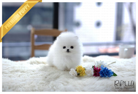 (Purchased by Weber) Snow - Pomeranian. F