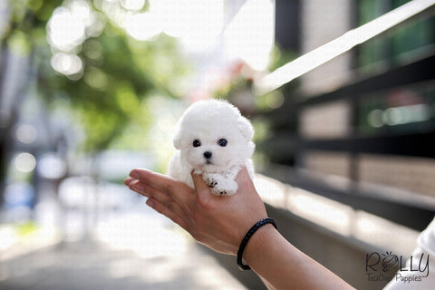 (SOLD to Fung) Snow - Poodle. F - Rolly Teacup Puppies