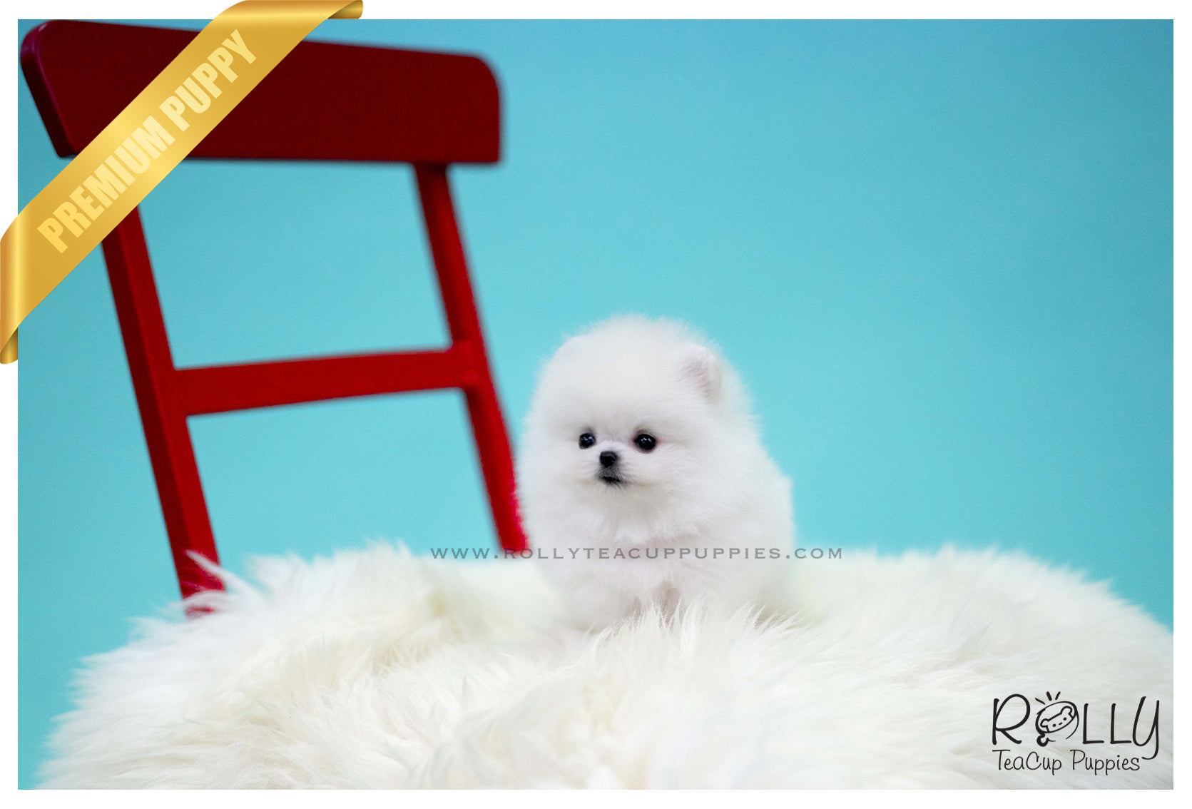 Sold To Sulaiman Snow Ball Pomeranian M Rolly Pups Inc