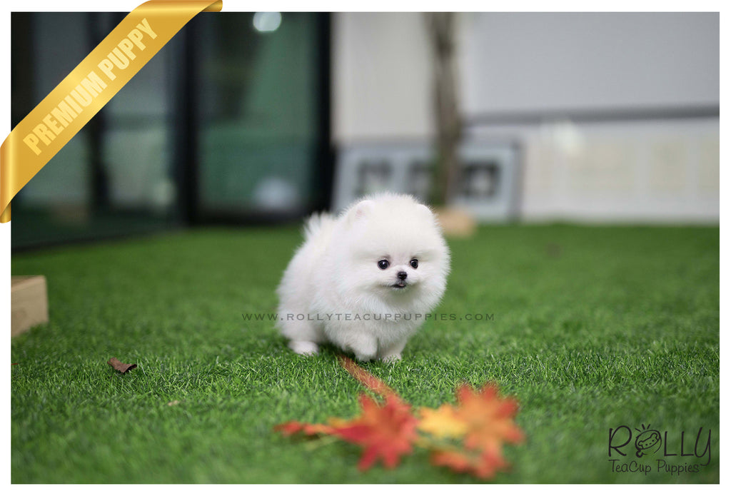 sold to sulaiman snow ball pomeranian m rolly teacup puppies