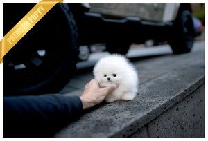 (Purchased by Allard) Snowflake - Pomeranian. F - Rolly Teacup Puppies