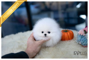 (Purchased by Allard) Snowflake - Pomeranian. F - Rolly Teacup Puppies - Rolly Pups