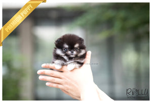 (SOLD to Lee) Snuggle - Pomeranian. F - Rolly Teacup Puppies - Rolly Pups