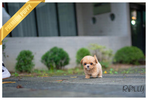 (PURCHASED by Tate) Paisley - Maltipoo. F - Rolly Teacup Puppies - Rolly Pups