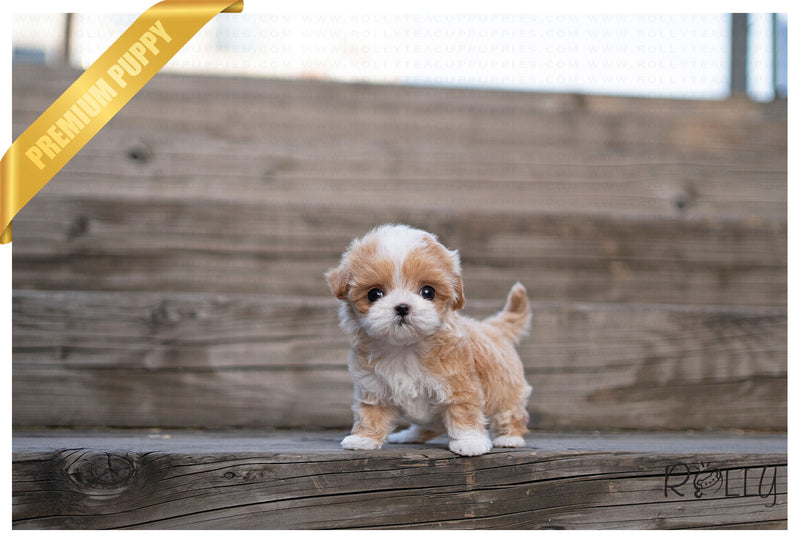 SOPHIE - Maltipoo. F - ROLLY PUPS INC